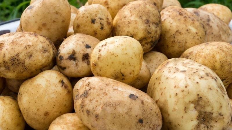 Картофель красавчик: описание сорта, фото, отзывы о вкусовых качествах и сроках созревания, особенности хранения и выращивания, характеристика урожайности