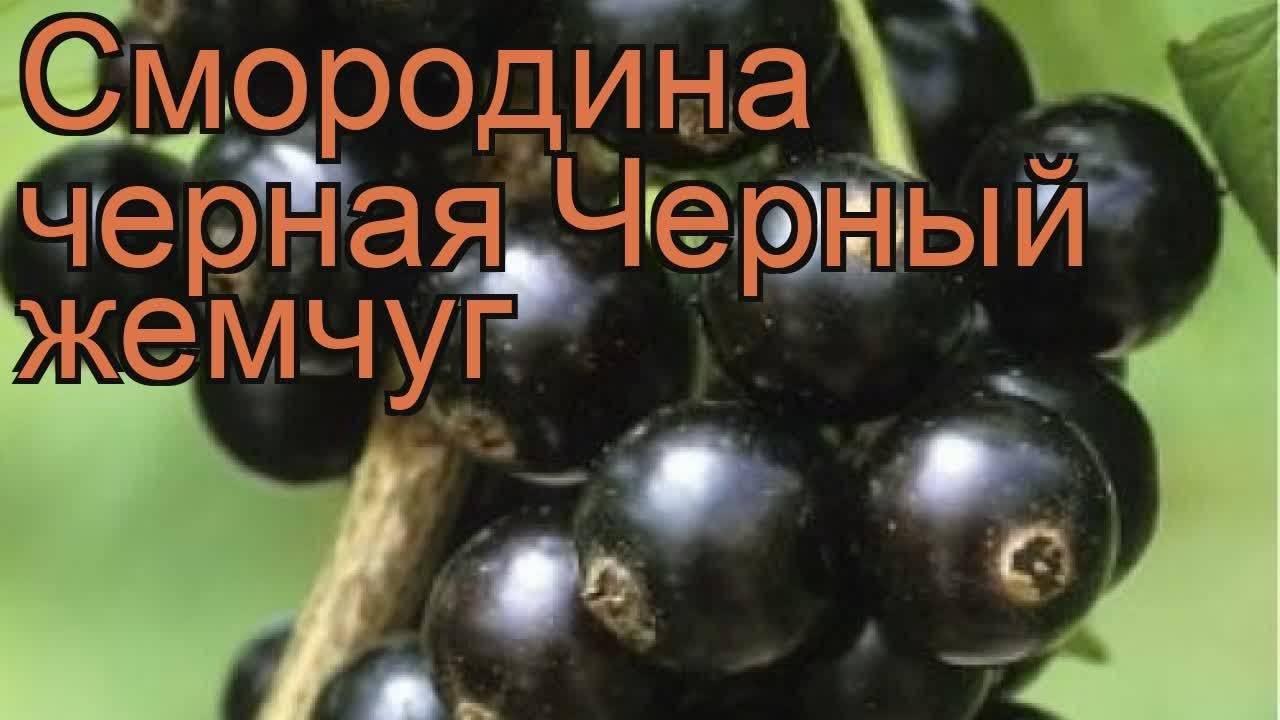Смородина черный жемчуг: описание сорта с характеристикой и отзывами, особенности посадки и выращивания и ухода, фото