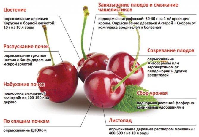 Слива президент: описание английского сорта, особенности выращивания и ухода