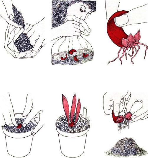 Лилии посадка размножение и уход, способы размножения