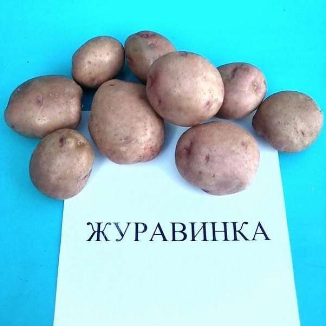 Журавушка картофель: описание сорта и характеристика русский фермер