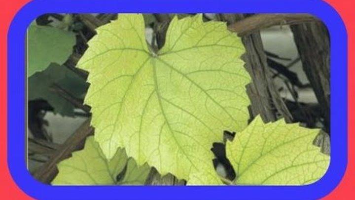 Хлороз винограда: фото и чем лечить, причины хлороза на винограднике, видео советы