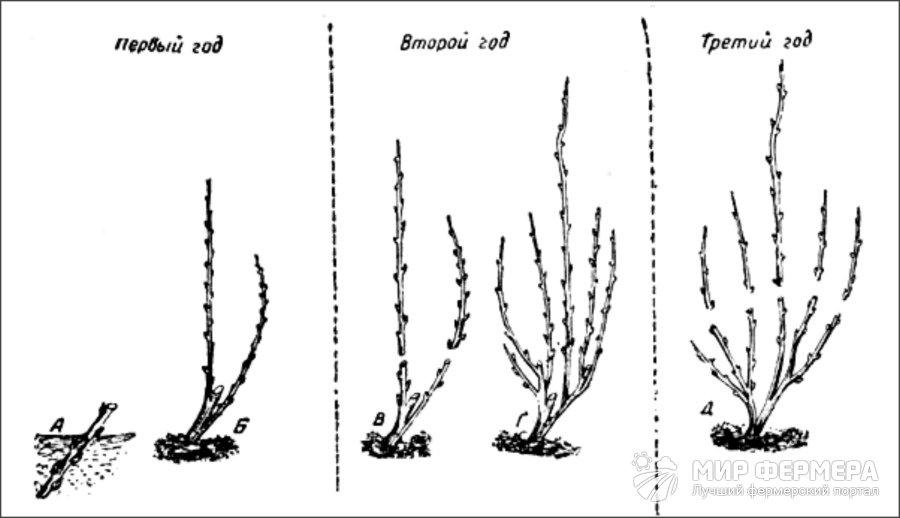 Черешня - посадка и уход: полив, прополка, обрезка