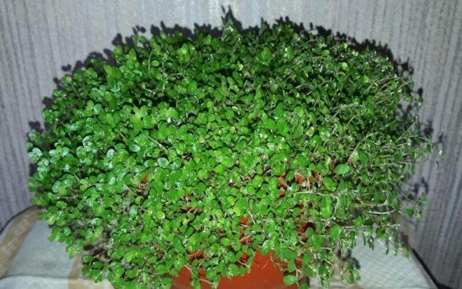 Цветок солейролия: как ухаживать за комнатными растениями видов грин и гелксина