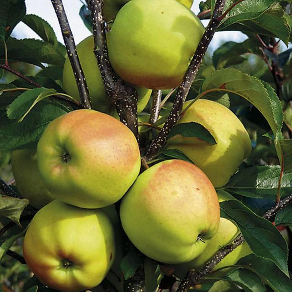 Голден делишес : описание сорта и его особенности, фото selo.guru — интернет портал о сельском хозяйстве
