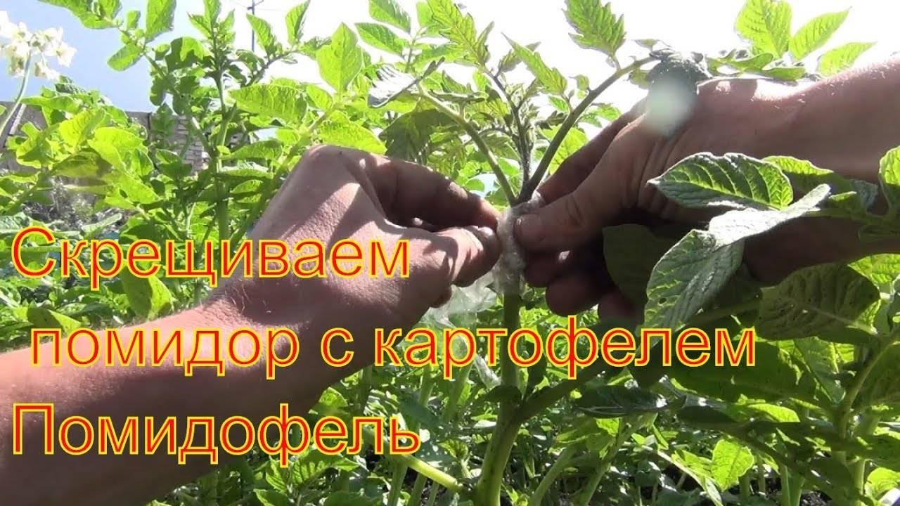 Помидофель (tomtato): фото, копулировка, прививка, правила высадки в грунт