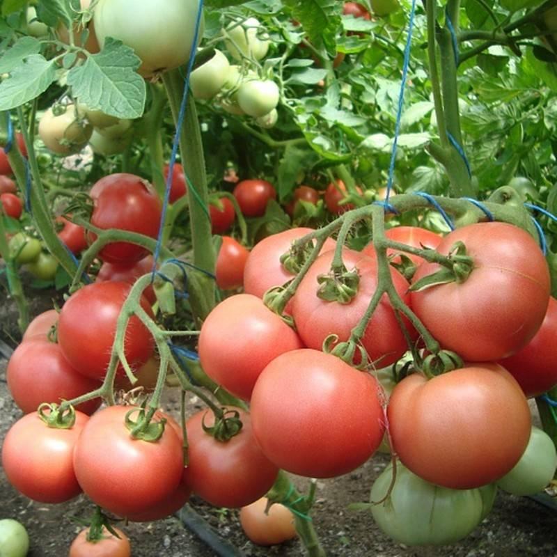 Сердцевидный томат утренняя роса: подробное описание, агротехника, отзывы