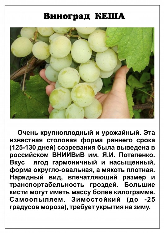 Виноград кеша: особенности сорта, посадка и уход, советы по разведению