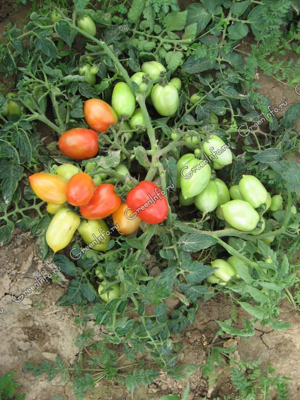 Томат красавчик f1: описание, особенности выращивания сорта