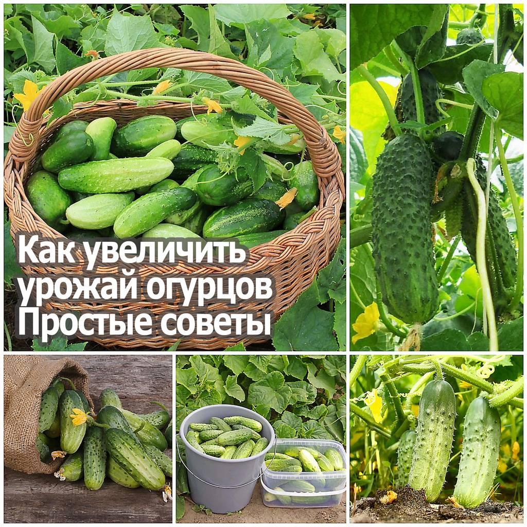 Как можно вырастить хороший урожай огурцов, ускоряем рост и созревание