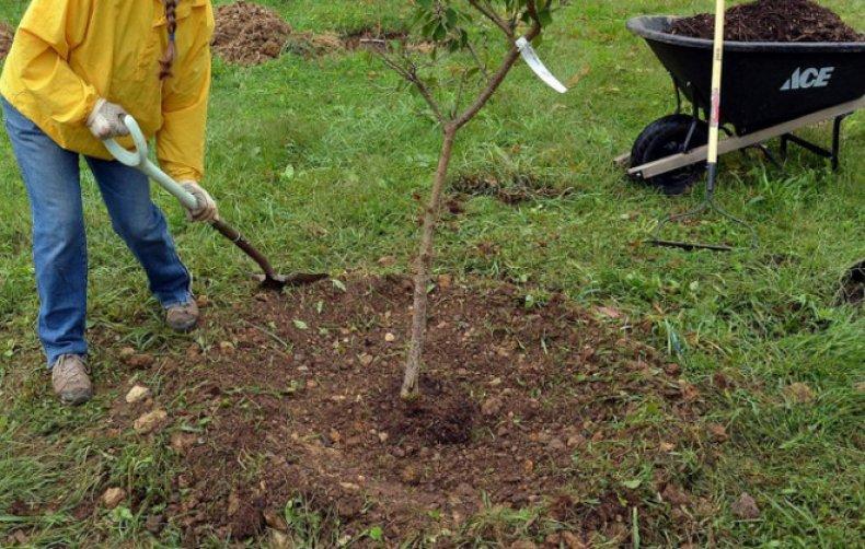 Пересадка яблони весной на новое место: как и когда пересаживать