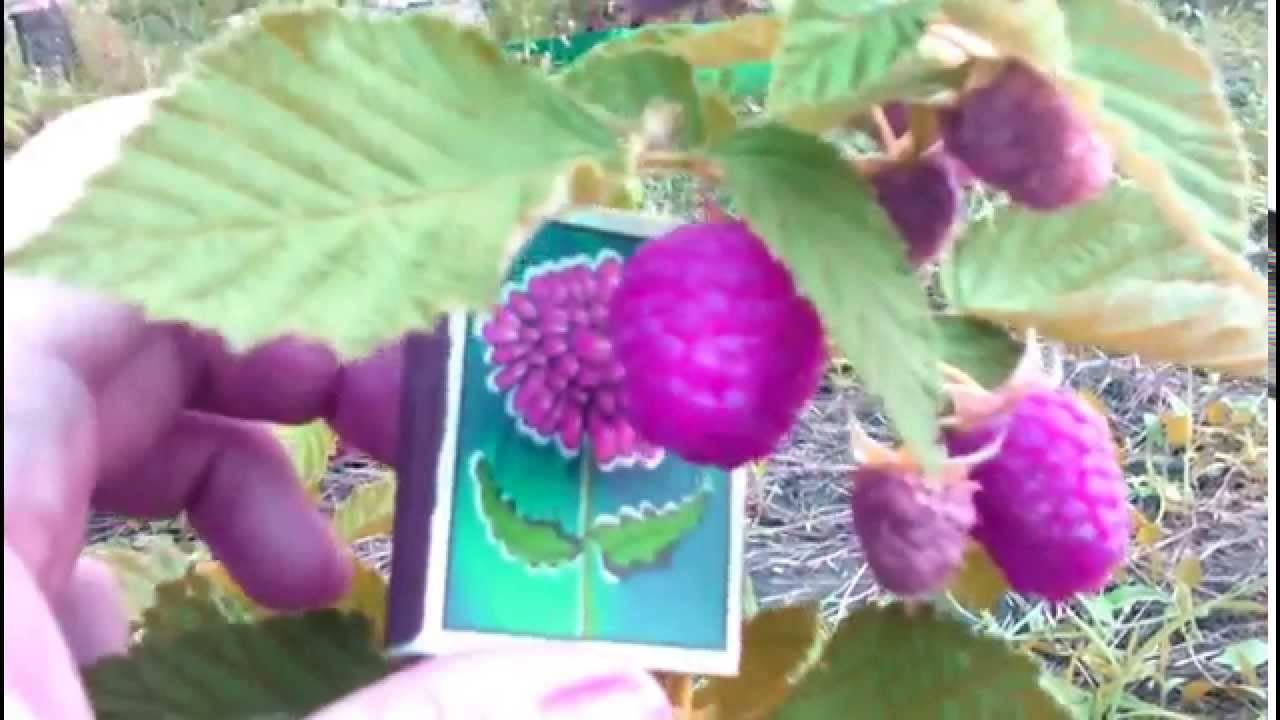 Малина таруса: отзывы, описание сорта, фото, уход