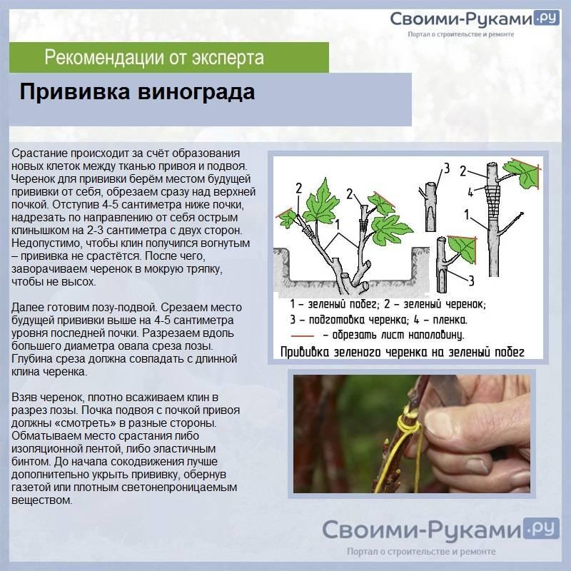 Прививка винограда весной: как прививать старый куст, методы и способы окулировки