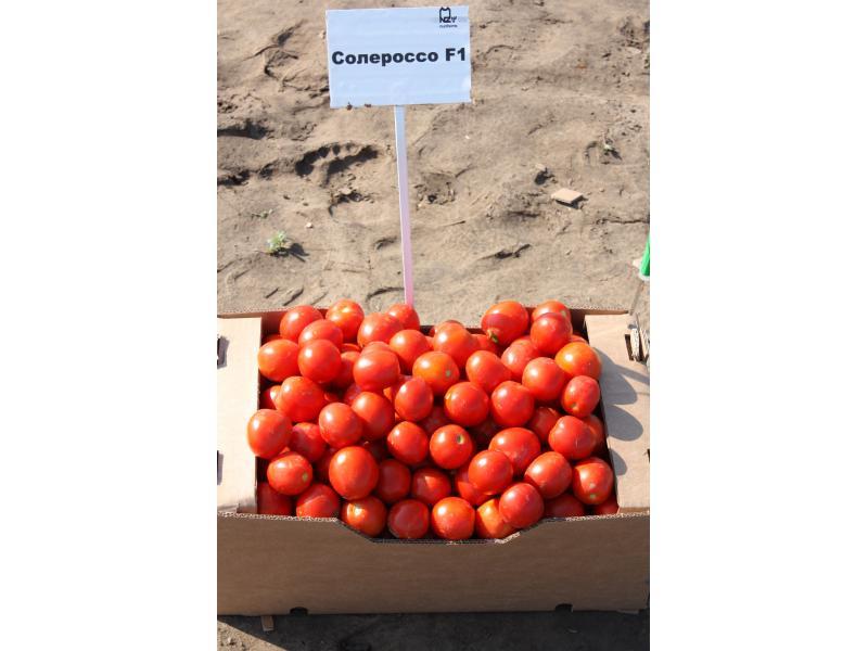"""Томат """"премиум f1"""": описание сорта, способа выращивания и фото помидор русский фермер"""