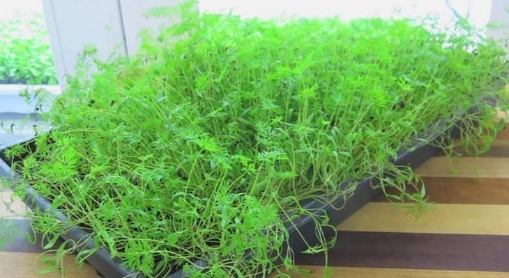 Как вырастить укроп зимой в теплице, подходящие сорта зелени, требования к теплице, а также пошаговое выполнение посадки