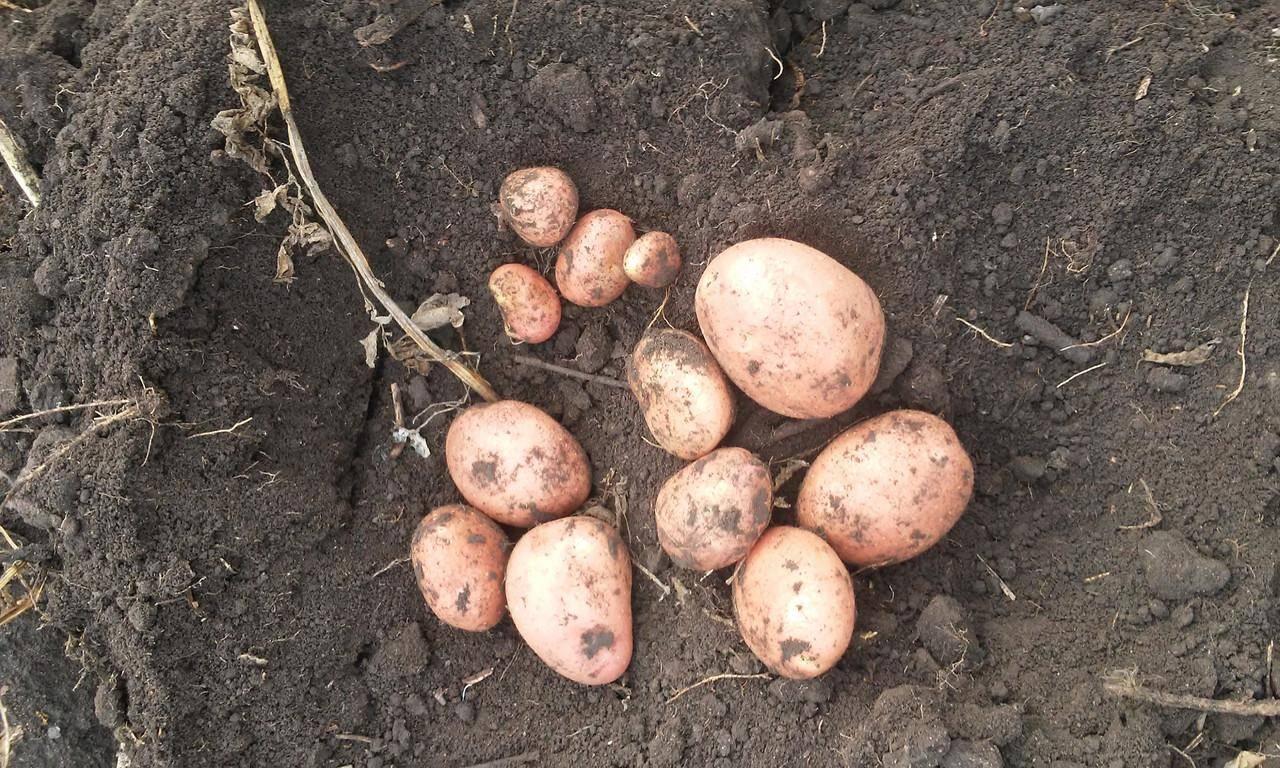 ᐉ сорт картофеля «янка» – описание и фото - roza-zanoza.ru