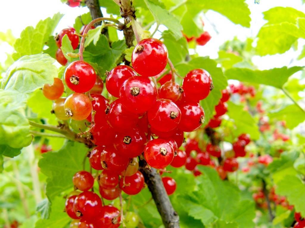 Характеристика и описание красной смородины сорта уральская красавица
