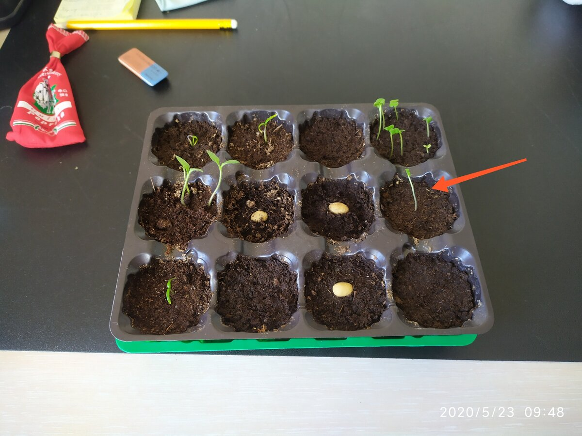 Физалис: выращиваем рассаду в домашних условиях