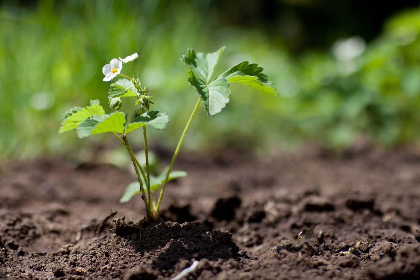 Как вырастить арбуз и ухаживать за ним: уход, полив и формирование в открытом грунте, особенности выращивания в домашних условиях, сорта