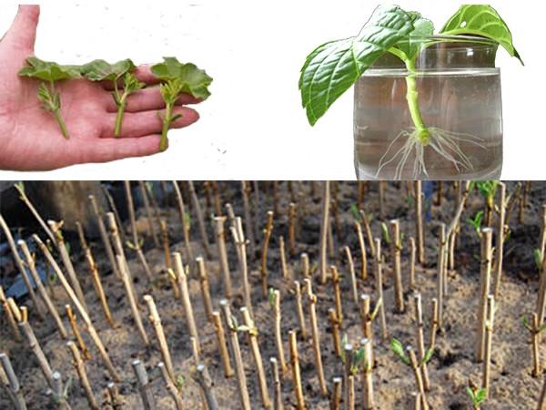 Роза флорибунда - важные нюансы выращивания