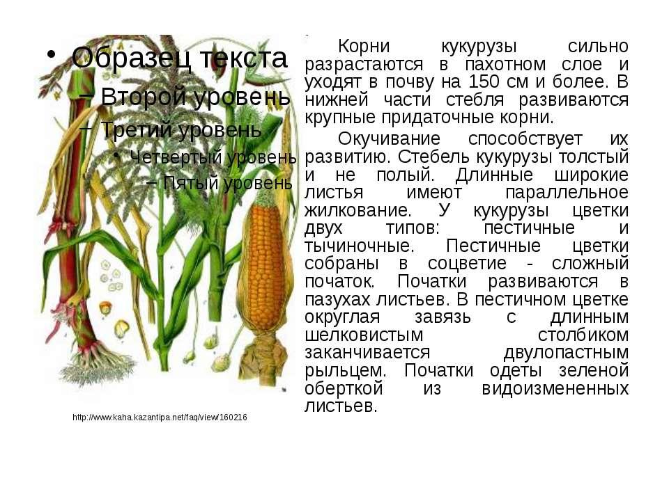 Разберемся, кукуруза это фрукт или овощ, или злак, относится она к бобовым или нет