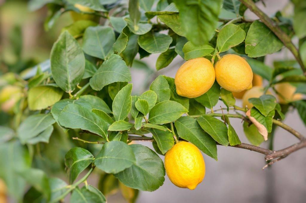 Лимонное дерево: уход в домашних условиях, полив, подкормка и обрезка растения