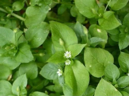 Фото, описание, полезные свойства, применение и противопоказания травы мокрицы