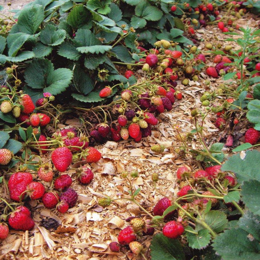 Как вырастить клубнику в Сибири в открытом грунте, лучшие сорта и уход