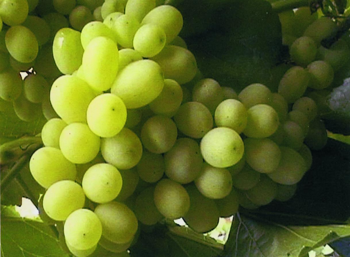 Виноград рислинг. описание, фото, характеристика, отзывы