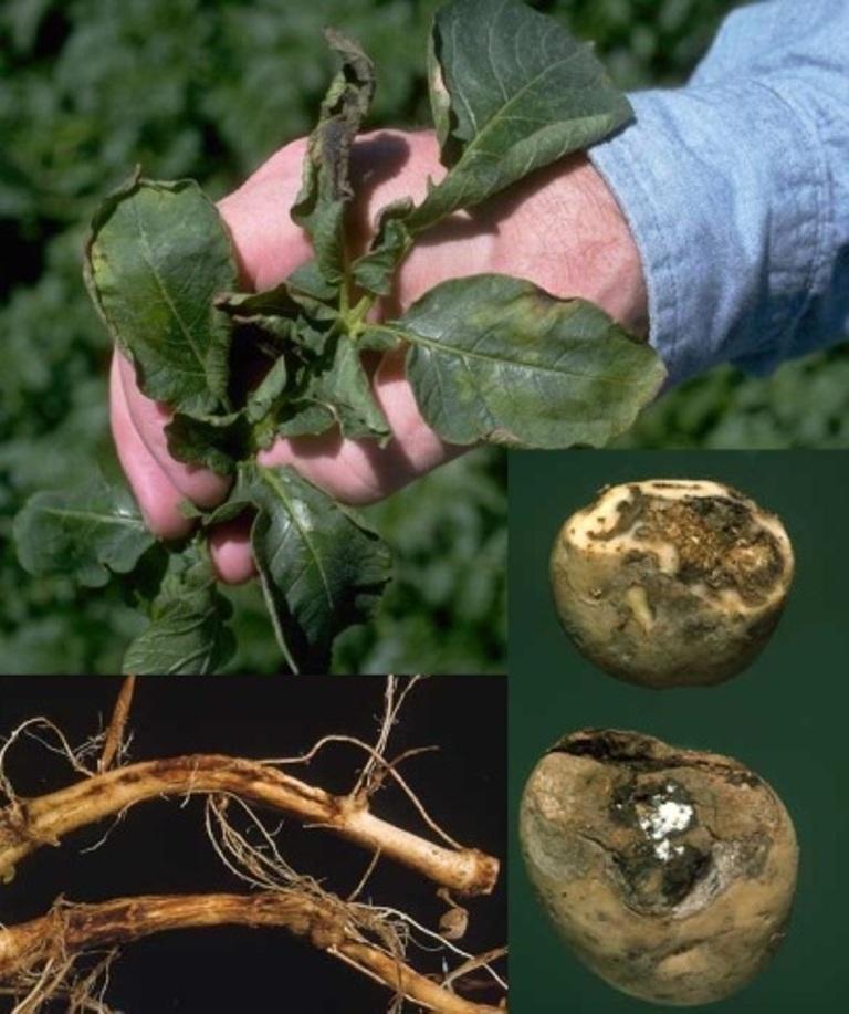 Альтернариоз картофеля: описание, меры борьбы и профилактика | домашняя ферма