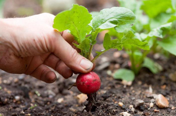 Шпинат: выращивание и уход в открытом грунте, выбор семян, как повысить урожайность