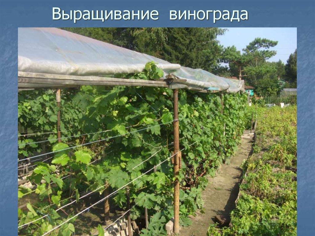 Уход за виноградом на урале летом: правила посадки и выращивания, лучшие сорта