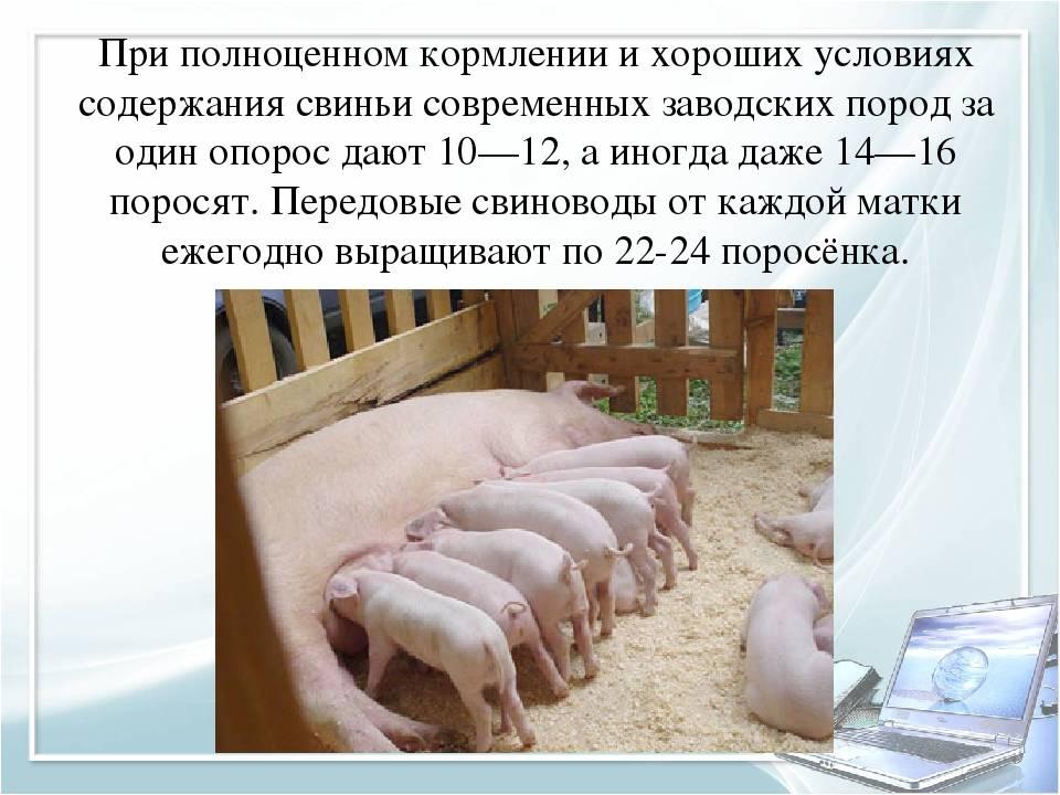 ᐉ выращивание поросят и свиней в домашних условиях и правильный уход за ними - zooon.ru