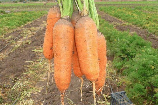 Морковь абако f1: характеристика и описание гибрида, выращивание и уход