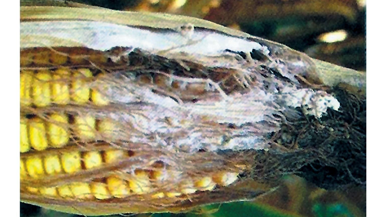Вредители кукурузы - 30r.biz