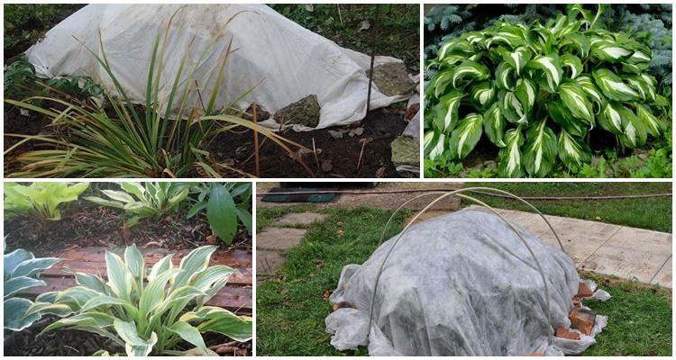 Как подготовить хосту к зиме: нужно ли укрывать растение в холодное время на урале, в сибири и подмосковье