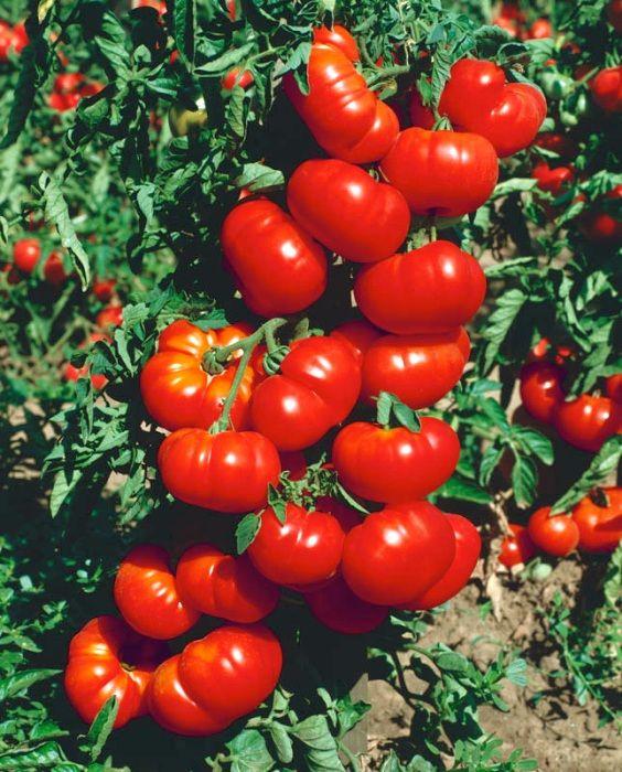 Описание сорта томата орлец, особенности выращивания и урожайность