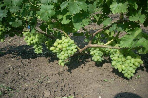 Виноград софия: описание сорта, посадка и уход, способы размножения, сбор урожая