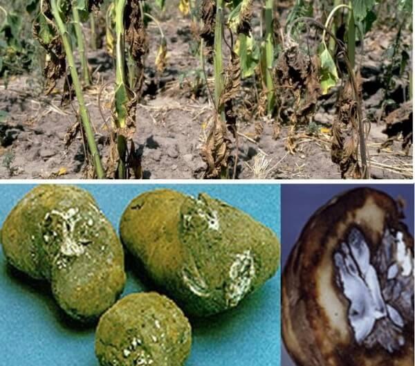 Фузариоз картофеля: признаки, методы борьбы и препараты