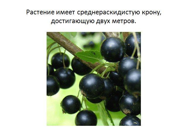 Неприхотливый сорт черной смородины зеленая дымка