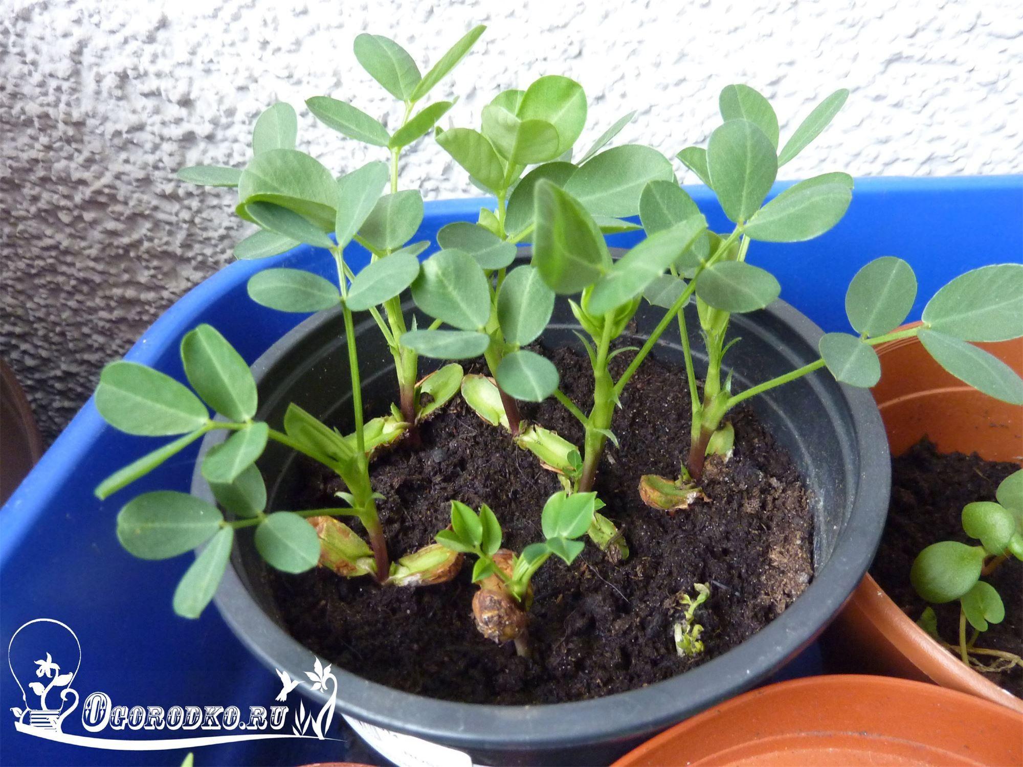 Выращиваем арахис на огороде. как вырастить арахис в средней полосе. фото — ботаничка.ru