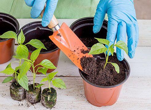 Как пересадить рассаду помидоров: в грунт, в теплицу, парник, горшок