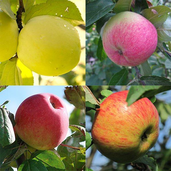 Описание сорта яблони услада: фото яблок, важные характеристики, урожайность с дерева