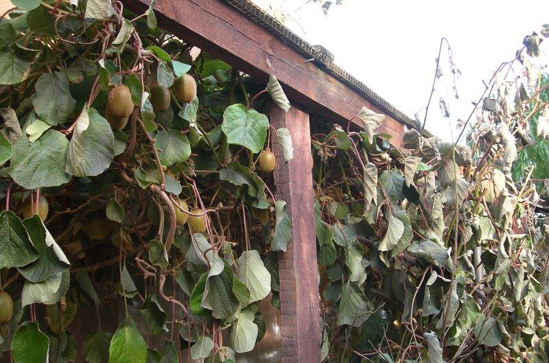 Как вырастить киви в открытом грунте, зимостойкие сорта