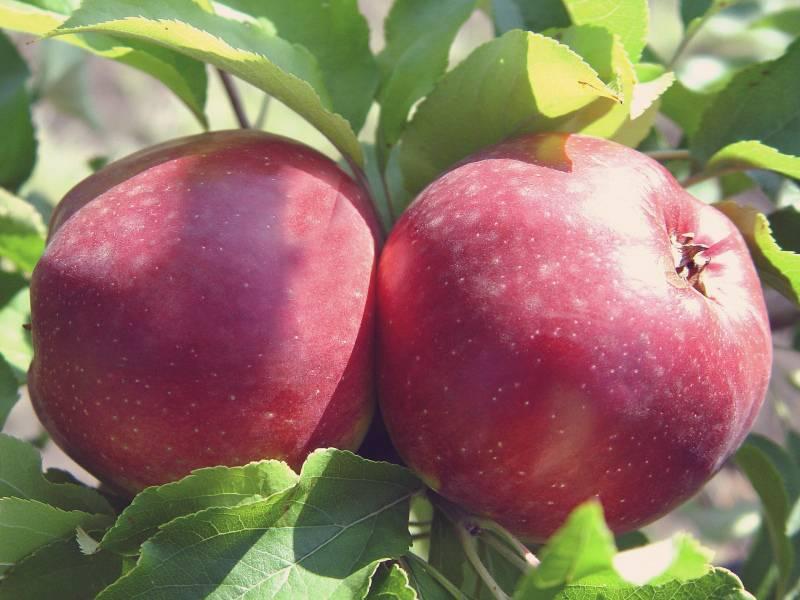 Яблоня беркутовское: описание и характеристика сорта