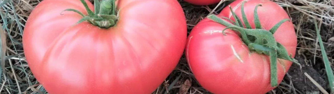 Помидоры малиновый гигант: урожайность и характеристика сорта