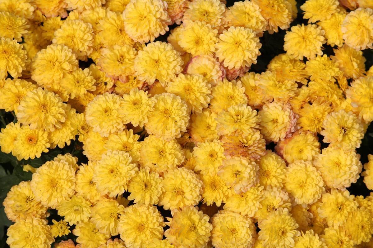 Хризантема индийская: описание, разновидности и рекомендации по уходу