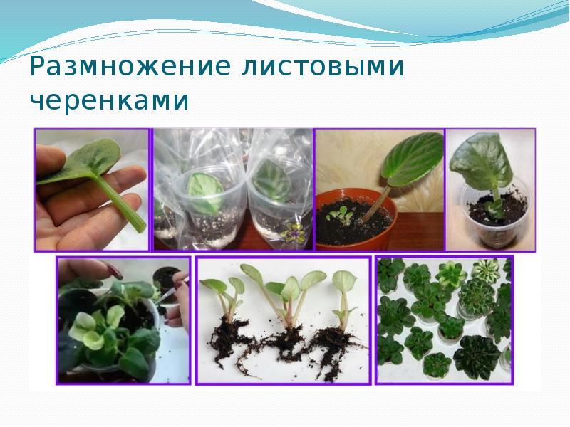 Как размножается мята: черенками, семенами и делением, уход с фото и видео