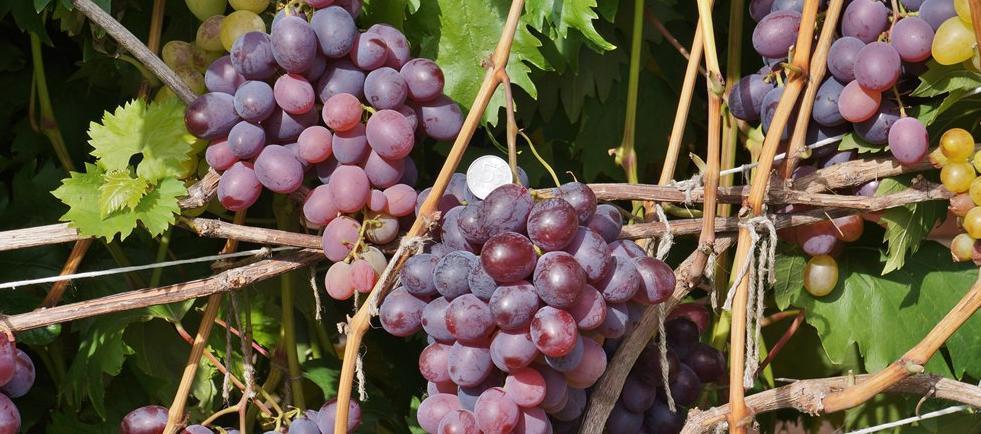 Виноград атос: описание сорта, посадка и уход, размножение, сбор и хранение урожая