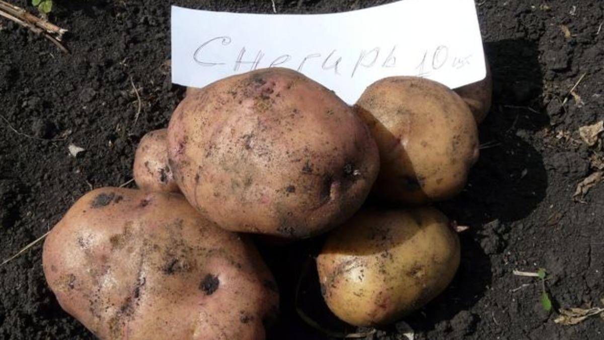 ᐉ сорт картофеля «снегирь» – описание и фото - roza-zanoza.ru